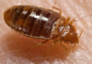 Bed Bug Control in Idaho Falls